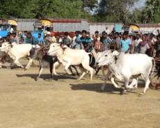 கிளிநொச்சி அக்கராயனில் இடம்பெற்ற மாட்டு வண்டி சவாரி (படங்கள்)